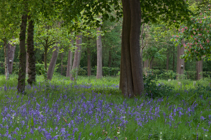 Our landscape plan included reinvigorating a strip of woodland next to the new building - which was dedicated in a ceremony a year ago - and specified the planting of almost 60,000 bluebell bulbs alongside the same number of wood anenomes and 39,000 snowdrops.