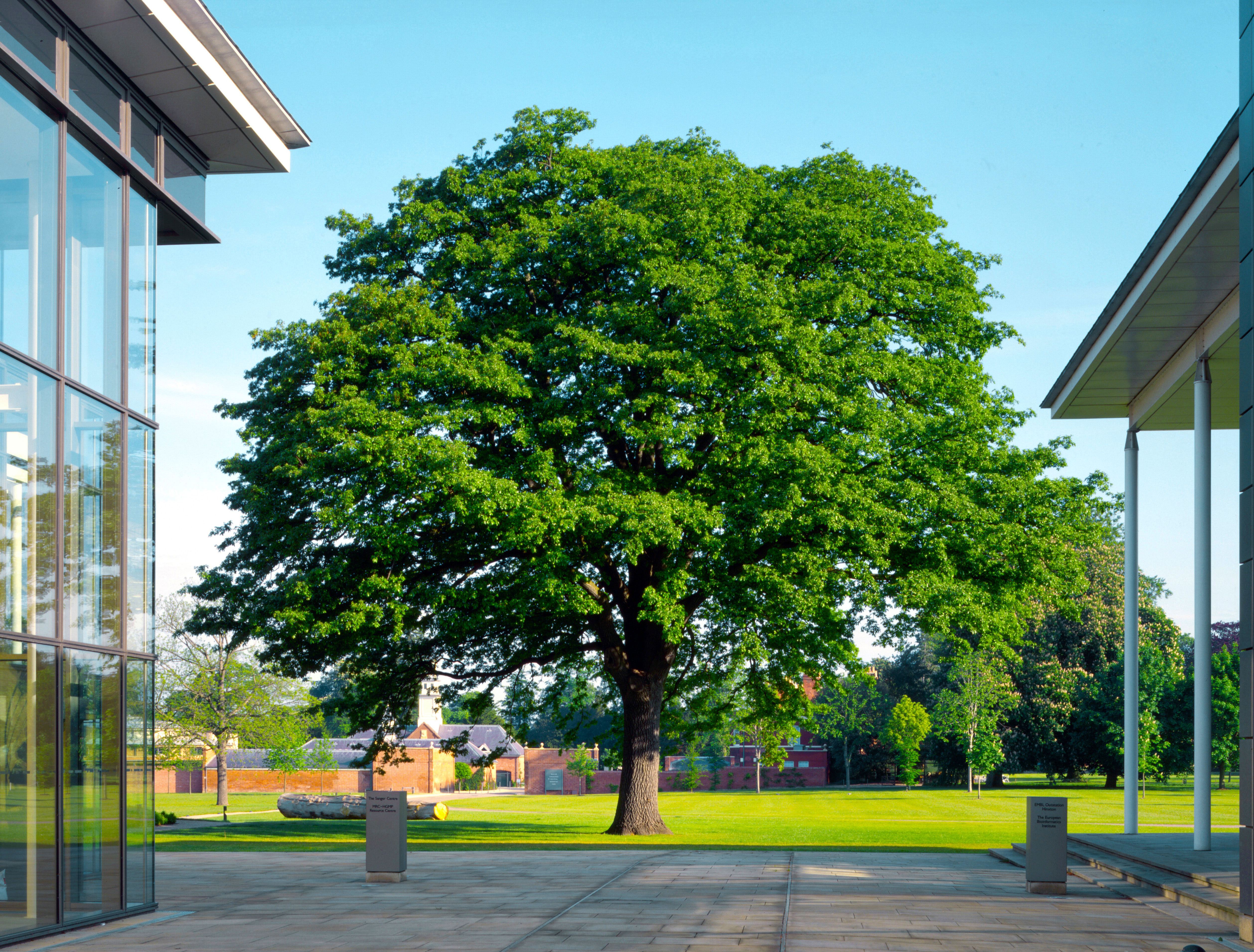 One of the original trees on the campus